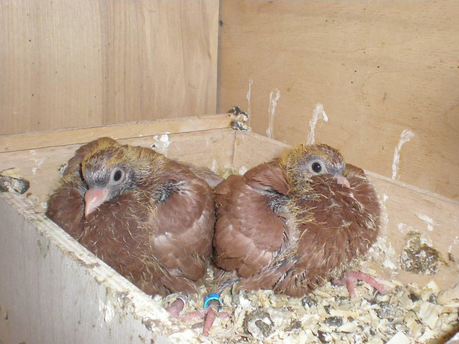 Красные голуби